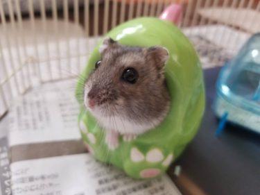 ハムスターが巣箱に餌を溜め込むのが心配?溜め込む理由と対処法
