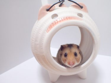 ハムスターを飼うならなつきやすい種類を選ぶと可愛さ倍増!