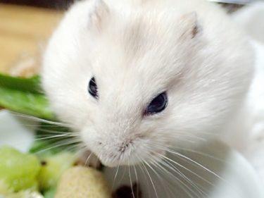 全身の毛が白いハムスターのスノーホワイトを飼ってみましょう